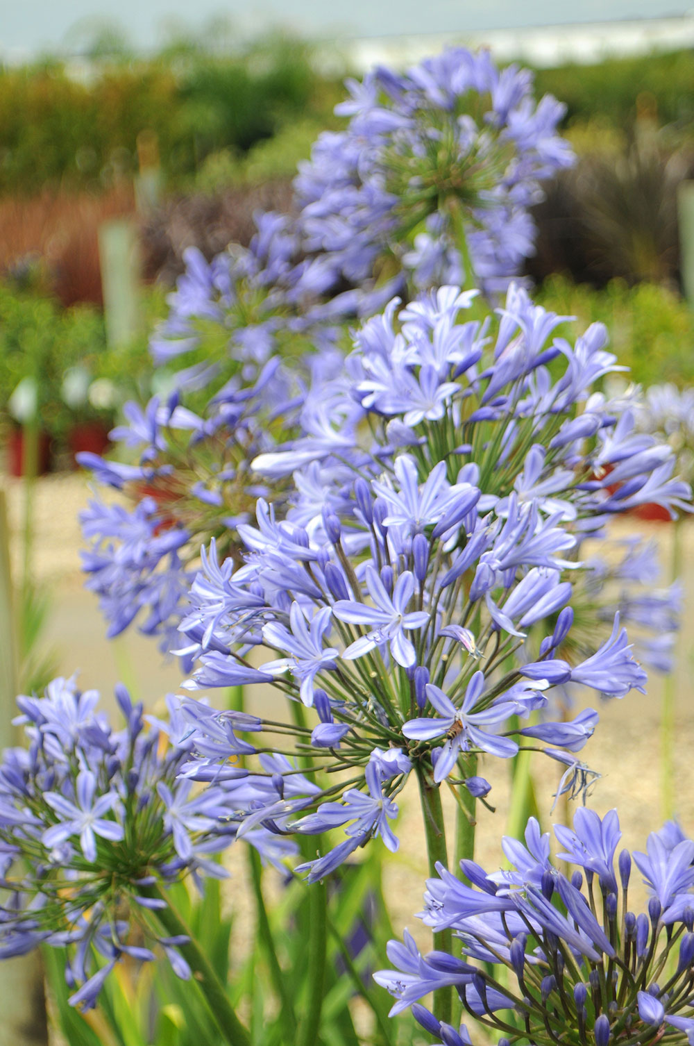 Water corporation of wa lily of the nile african lily agapanthus close window izmirmasajfo