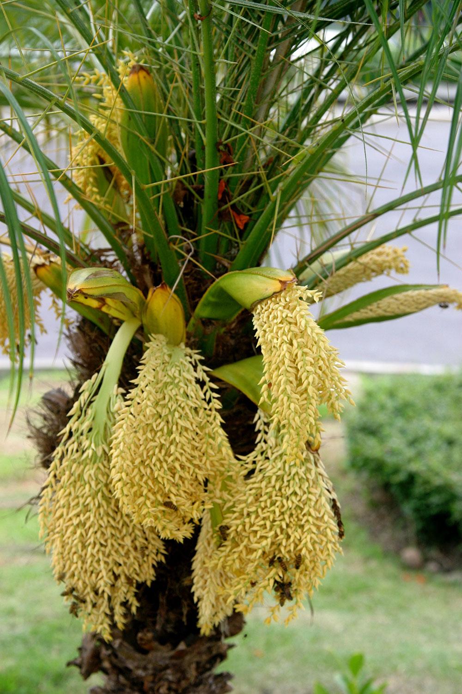 Water Corporation Of Wa Dwarf Date Palm Pygmy Date Palm