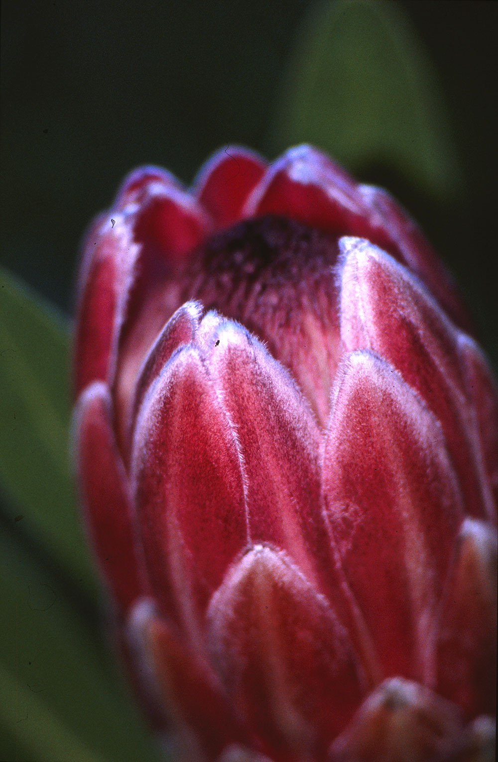 Water Corporation Of Wa Pink Ice Protea