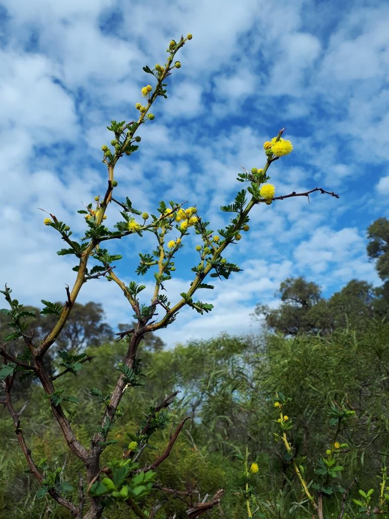 A new species of Acacia has been discovered at the Southern Seawater Desalination Plant near Binningup.